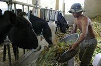 Khuyến khích bò sữa, nông dân... hụt hơi