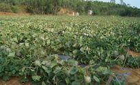 Doanh nghiệp không mua, người trồng dưa ngoại... làm thức ăn cho bò
