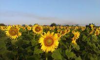 Mê đắm những cánh đồng hoa đẹp nhất thế giới