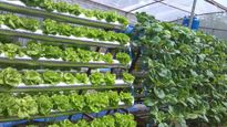 Tiết kiệm không gian với vườn rau được trồng trong ống nhựa PVC