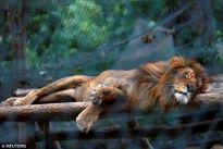 Venezuela thiếu lương thực, sở thú bỏ đói động vật đến chết