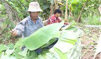 Mưu sinh với nghề rọc lá chuối
