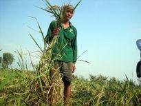 Lạ lùng giống lúa mùa nổi dài gấp đôi người