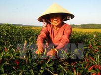 Giá ớt tăng cao kỷ lục, người trồng ở Tiền Giang thu lãi cao