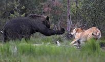 Gấu bị bầy sói dạy cho bài học vì xâm phạm lãnh thổ
