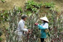 Hoa hồng thêm bông nhờ bón phân DAP Lào Cai
