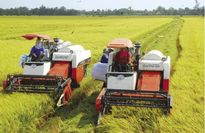 Để trồng lúa có lãi