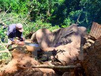 Rừng ở Điện Biên trước nguy cơ cạn kiệt cây gỗ nghiến