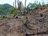 Nhức nhối nạn chặt phá rừng trồng nguyên liệu giấy ở Bình Định