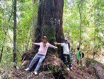 Khám phá rừng di sản pơ mu