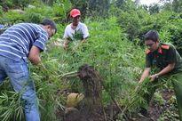 Trồng hàng ngàn cây cần sa trên núi ở Vũng Tàu