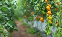 Trồng cà chua bằng sữa, trứng và mật mía như thế nào?