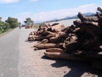 Phú Thọ: Dân liều mình kéo gỗ trên dòng nước xiết