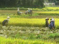 Khan hiếm nhân công cắt lúa
