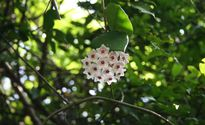 Tìm thấy loài hoa hiếm ở Hải Phòng sau hơn 100 năm