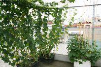 Dân thành thị 'phát sốt' với vườn rau mini vừa rẻ, vừa sạch