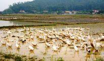Xuất hiện 3 ổ dịch cúm gia cầm H5N1 ở Nghệ An