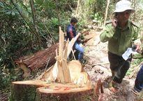 Tin chính thức vụ phá rừng pơ mu rúng động Quảng Nam