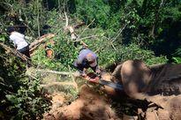 Đau xót trước cảnh tượng tàn phá những cánh rừng gỗ nghiến trăm tuổi