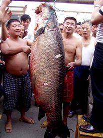 Bí ẩn trắm đen khổng lồ, nặng 3 tạ quần thảo ở sông Kinh Môn