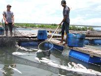 Cá nuôi lồng bè trên sông Chà Và chết hàng loạt, bốc mùi hôi thối