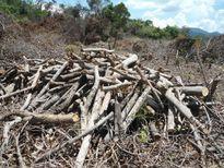 Xung quanh vụ rừng Hòn Hèo bị phá: Ai phải chịu trách nhiệm?