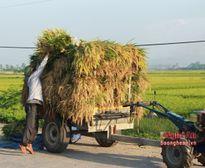 Đẩy nhanh tiến độ thu hoạch lúa hè thu chạy lụt
