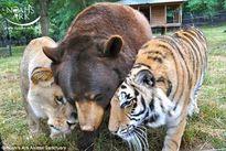 Kinh ngạc 3 thú dữ sư tử, hổ, gấu thân thiết với nhau như anh em