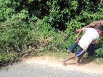 Xuất hiện thương lái Trung Quốc thu mua cây cỏ xước tại Kon Tum