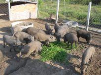 Trở thành những tỷ phú trẻ tuổi nhờ phong trào nuôi lợn rừng