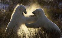 Cuộc thủy chiến điên cuồng của loài gấu Bắc Cực
