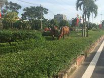 Vĩnh Phúc: Thả bò 'cắt' cỏ trên cung đường đẹp nhất thành phố?