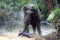 Voi rừng liên tục tấn công người dân, giết gia súc ở Sơn La