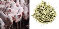 Chuyện lạ VN: Thu tiền tỷ nhờ cho lợn ở chung cư, đi thang máy, nghe nhạc