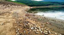 Thiếu oxy, cá chết trắng hồ Phước Hà