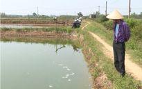 Nhiều diện tích tôm nuôi ở Quảng Trị bị dịch bệnh có nguy cơ mất trắng