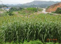 Ứng dụng cây năng lượng trong phát triển sản xuất và bảo vệ môi trường