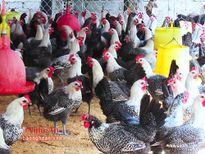 Thu 500 triệu đồng mỗi năm từ gà Ai Cập