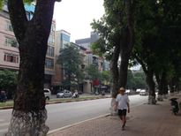 Hàng cây xanh trăm tuổi ở Kim Mã sắp trở thành hoài niệm