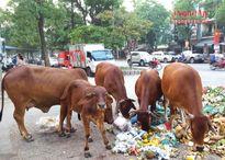 TP Vinh: Bò ngênh ngang 'dạo' phố