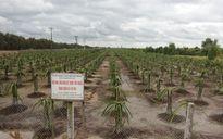 Vì sao Tiền Giang chưa khuyến khích người dân trồng thanh long?