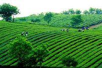 Sắp xếp, đổi mới công ty nông, lâm nghiệp tỉnh Sơn La