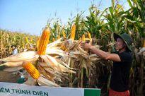 Nhà nông Sơn La thu 10 tấn/ha ngô biến đổi gen
