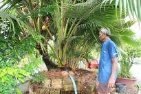 Choáng trước những cây dừa kỳ dị... ở miền Tây