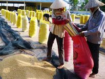 Gạo Việt đặt kỳ vọng vào châu Phi: Một nửa bức tranh