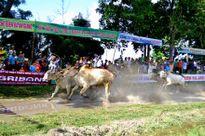 Nạn 'trên quyết', 'dưới liệt' nhiễm đến giải đua bò Bảy Núi
