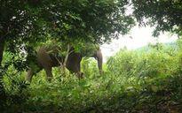 Sơn La: Người dân lo sợ voi rừng tấn công