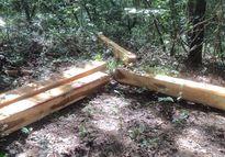 Đau xót cảnh cả rừng phòng hộ lẫn bảo tồn đều không thoát lưỡi cưa của lâm tặc