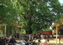 Cây Lim hơn 1.000 tuổi trở thành Cây Di sản Việt Nam