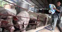 Quyết tâm nói 'không' với Cysteamine trong chăn nuôi